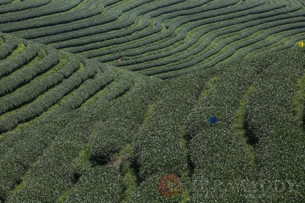 Poppy substitution tea plantations