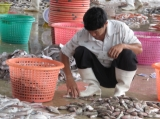 A Burmese worker put fishes in the bucket at the fish factory in Ranong, Burma.