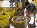 A Burmese boy move the fish bucket at the fish factory in Ranong, southern Thailand.