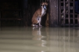 A dog that could not find its way on 6th August as the houses from some wards in Bago Region were floated due to the heavy rain and unusual tide.