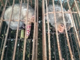 Guinea pigs are seen in cages at public square market of Mong La in eastern part of Shan State, border of China.( Photo - Nang Seng Nom / The Irrawaddy )