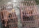 Rare pangolins are seen in cages at public square market of Mong La in eastern part of Shan State, border of China.( Photo - Nang Seng Nom / The Irrawaddy )