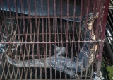 Moniter lizard are seen in cages at public square market of Mong La in eastern part of Shan State, border of China.( Photo - Nang Seng Nom / The Irrawaddy )