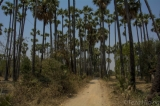 A cluster of toddy-palm trees which produces good sap in Crown Prince Toddy-Palm Forest. (Photo - teza hlaing/ The Irrawaddy)