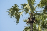 Earthen pot used in gathering toddy sap from toddy-palm tree. (Photo - teza hlaing/ The Irrawaddy)