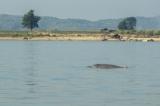 An Irrawaddy dolphin seen in Irrawaddy River near Singu Jetty in Mandalay. (Photo - teza hlaing / The Irrawaddy)