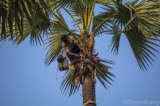 A Toddy-palm tree climber tapping toddy-palm sap. (Photo - teza hlaing / The Irrawaddy)