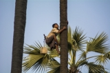 A toddy-palm tree climber climbing a toddy-palm tree. (Photo - teza hlaing/ The Irrawaddy)