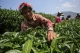 A Wa woman plucking tea leaves at poppy substitution tea plantation. (Photo: J Paing/The Irrawaddy)