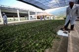 A tea processing plant on poppy substitution tea plantation. (Photo: J Paing/The Irrawaddy)