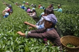Wa women plucking tea leaves at poppy substitution tea plantation. (Photo: J Paing/The Irrawaddy)